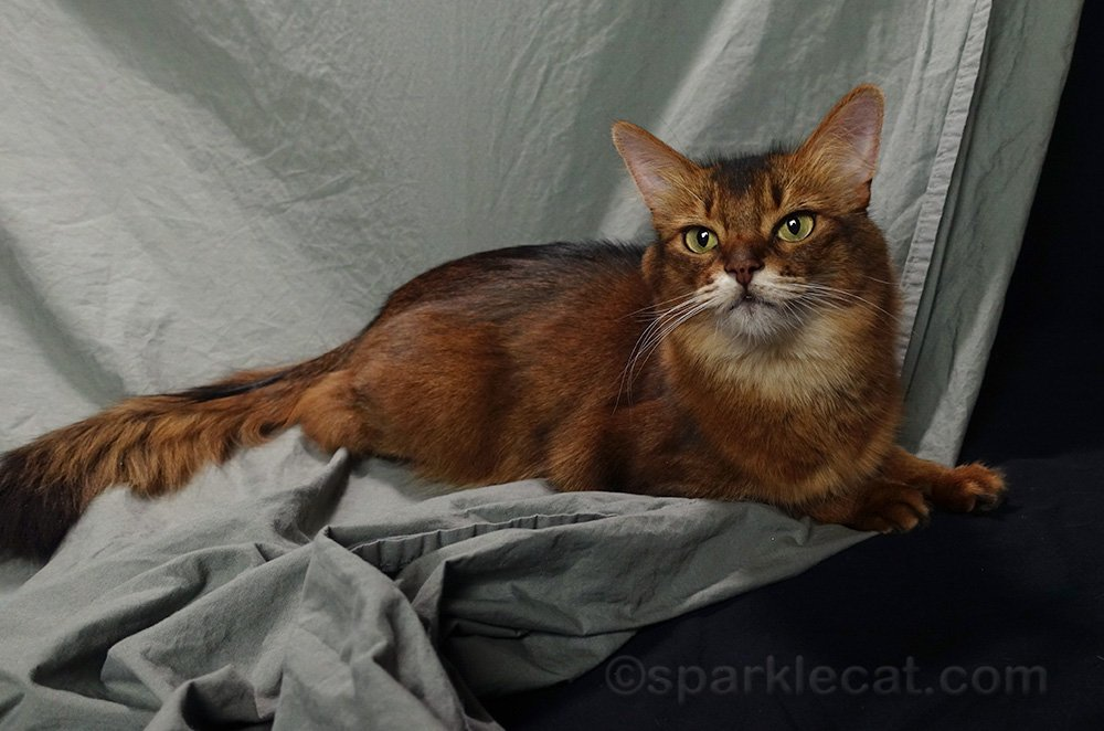 somali cat on unironed backdrop