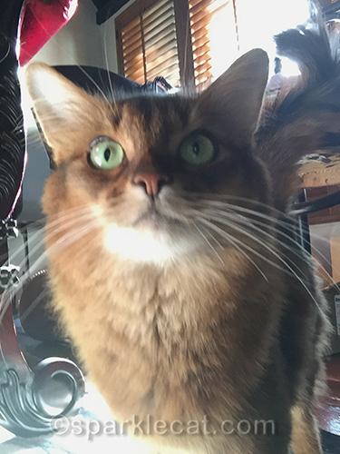 somali cat gets ready to take selfie