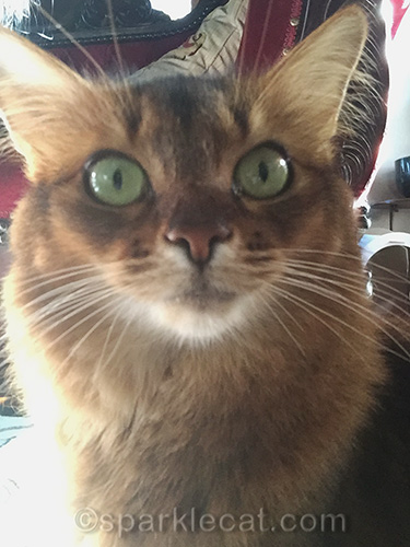 somali cat taking a selfie