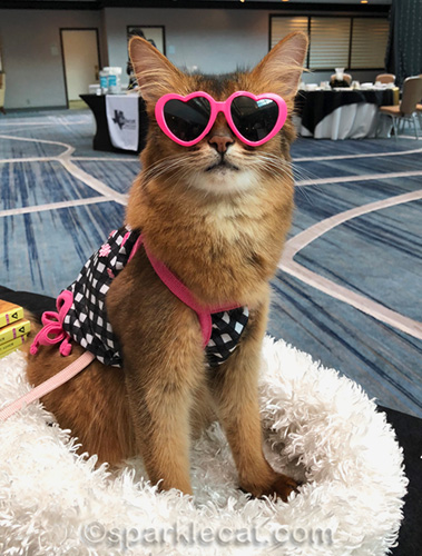 somali cat wearing tank top and sunglasses