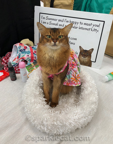 somali cat wearing colorful, breezy dress