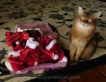 somali cat with Christmas wardrobe for casting audition