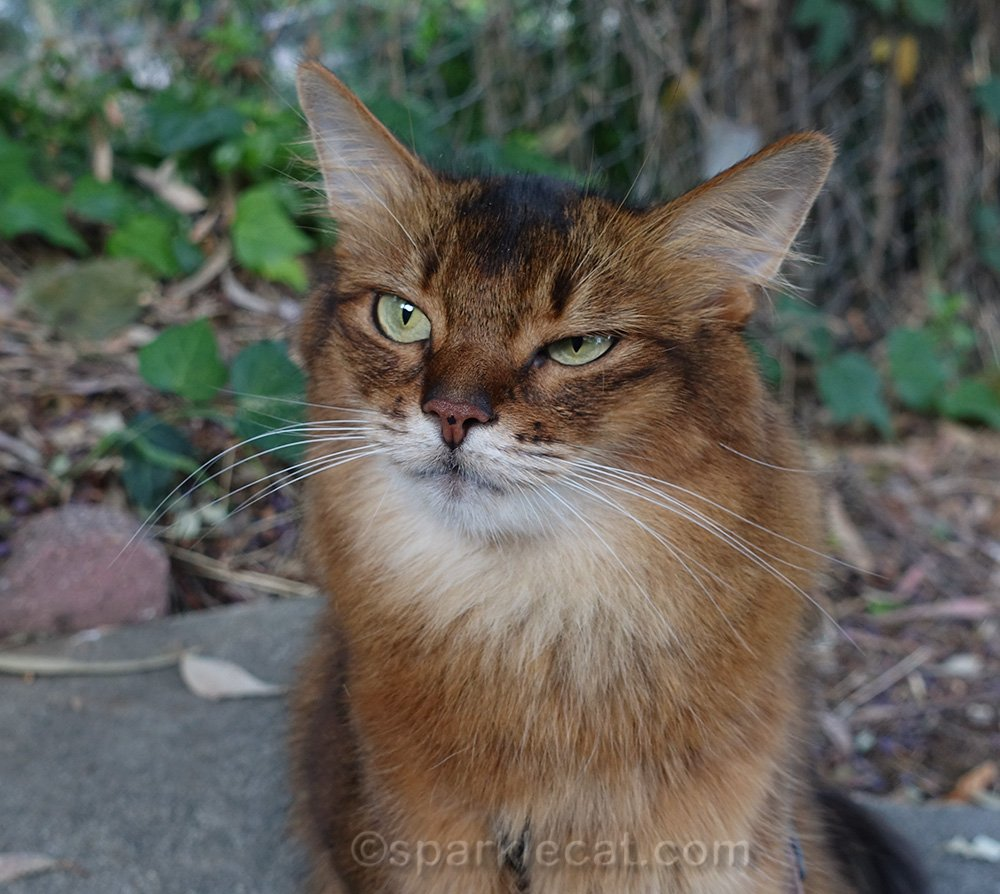 somali cat with dubious expression