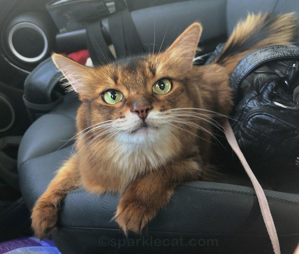 somali cat in car after awesome pet shop visit