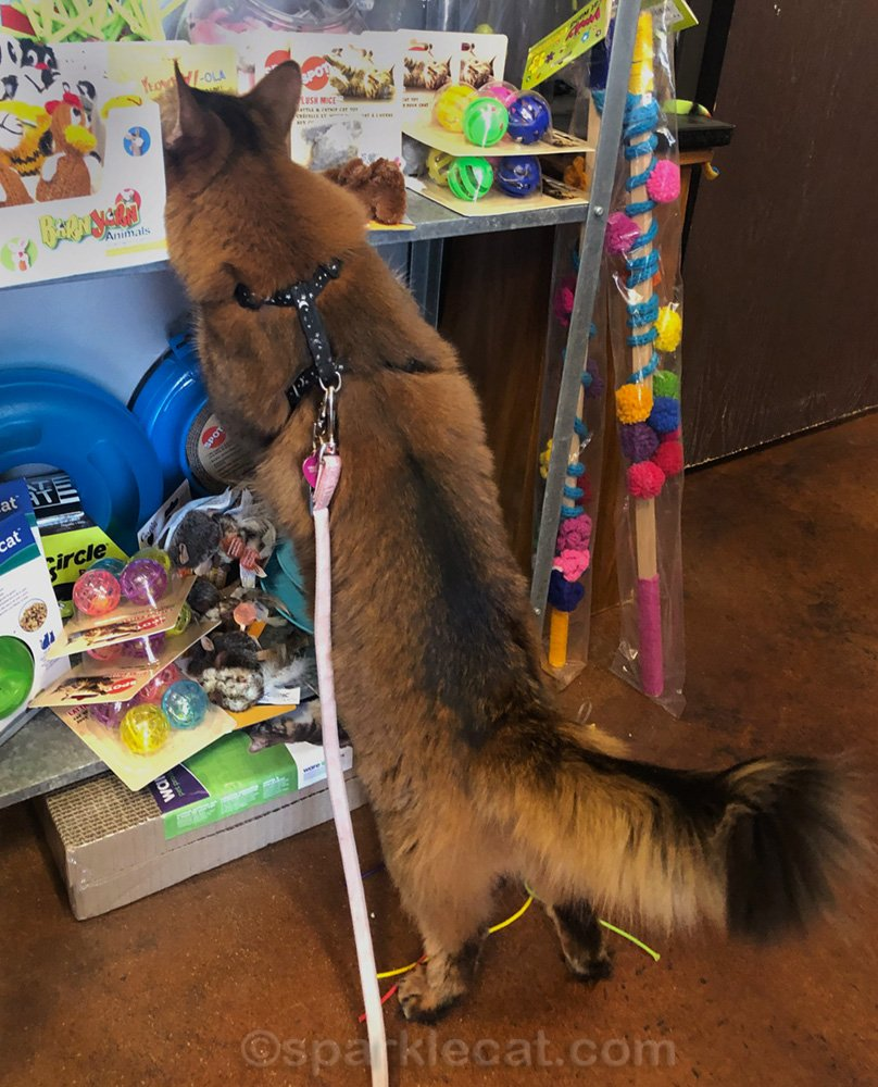 Somali cat with her head buried in cat toy section of pet shop