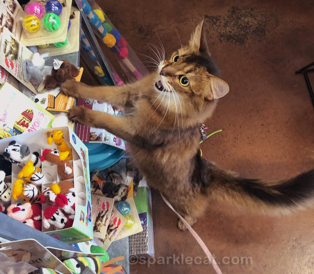 Somali cat excited by all the cat toys