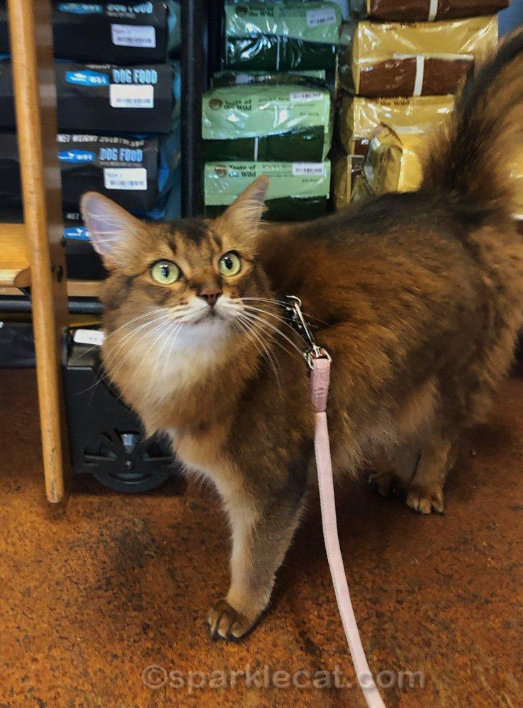 Somali cat exploring pet shop on her leash