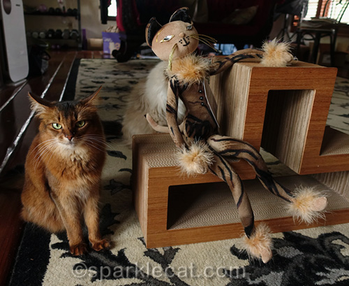 somali cat mad that the Glamkat is getting more attention than her