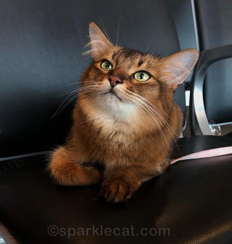 somali cat at Houston's Hobby Airport