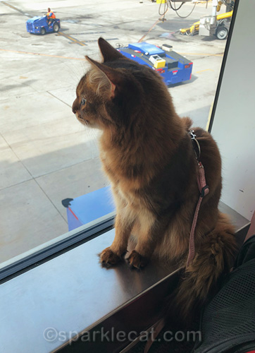 somali cat at airport on her trip home, watching employees
