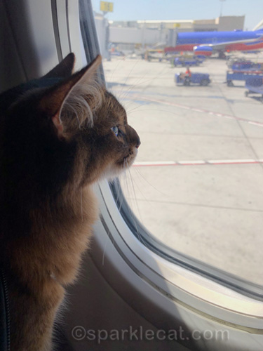 somali cat looking out airplane window after arriving at Los Angeles International Airport