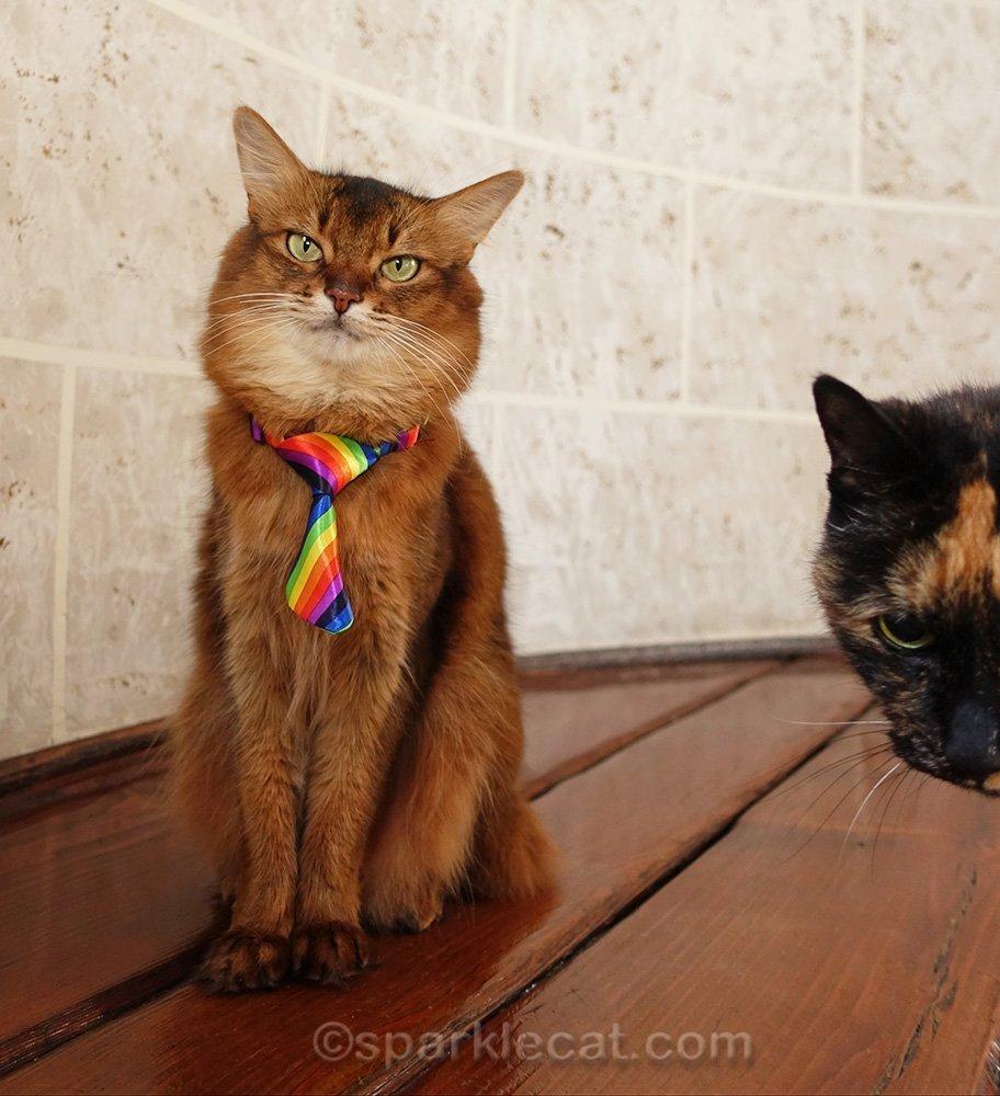 somali cat trying to ignore photo bombing tortoiseshell cat