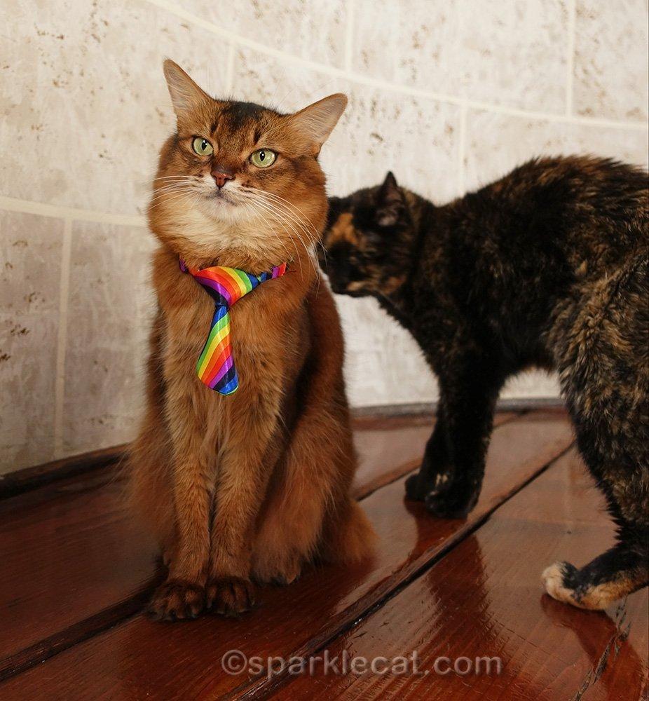 somali cat ignoring the tortoiseshell cat behind her