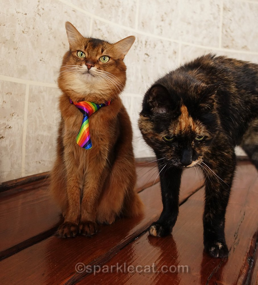 somali cat trying to pose with tortoiseshell cat bothering her