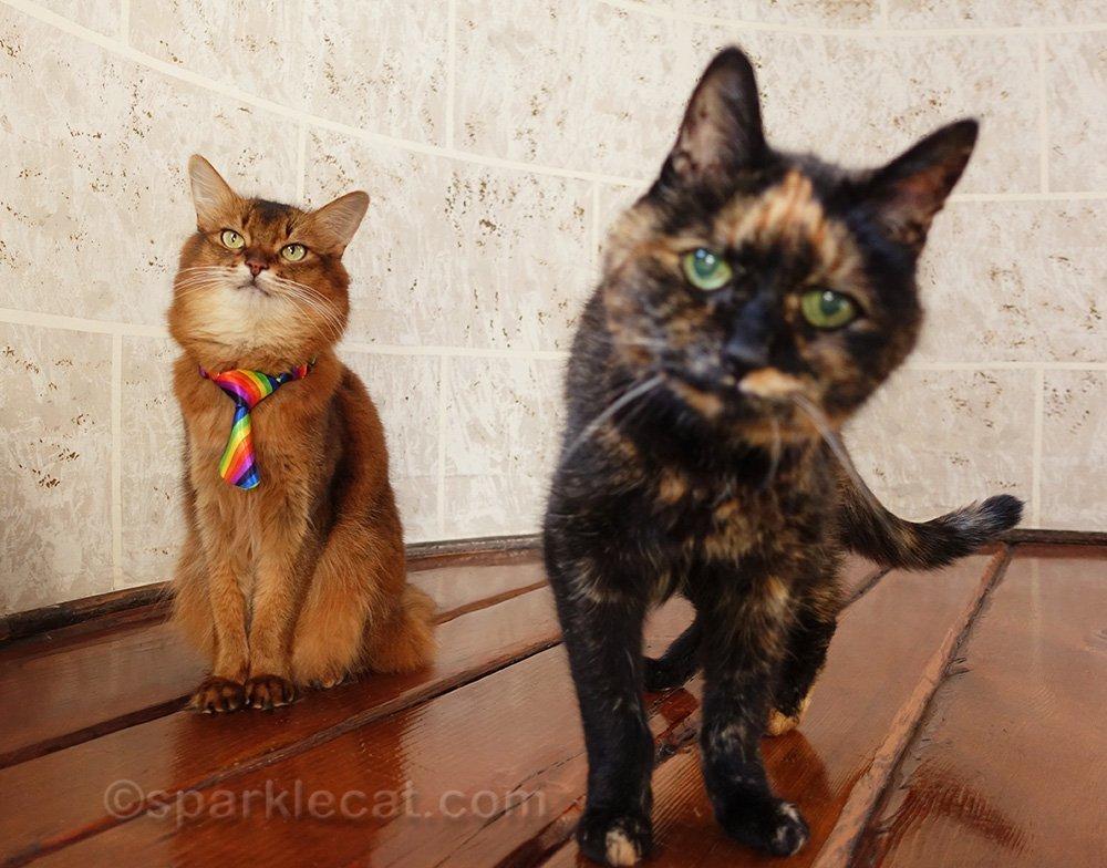 somali cat being upstaged by tortoiseshell cat