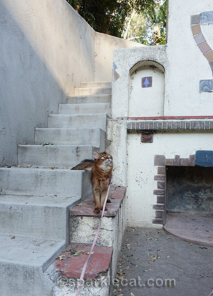 somali cat standing next to concrete stairs