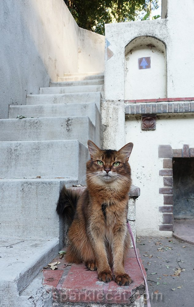 somali cat by concrete stairs