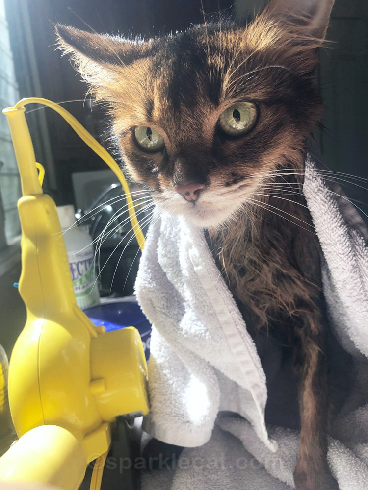 somali cat in the middle of getting a bath
