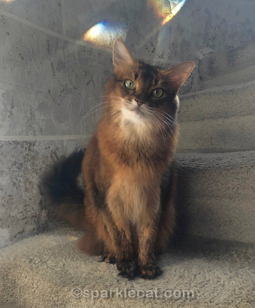 somali cat after her bath and grooming
