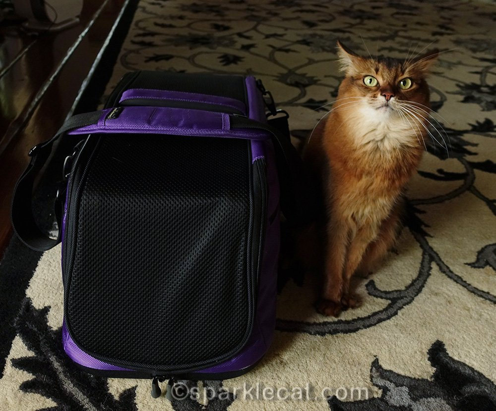 somali cat with carrier, looking vexed