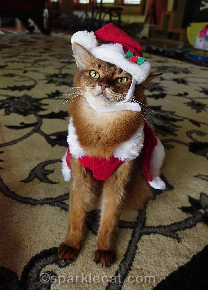 somali cat with awkward santa hat