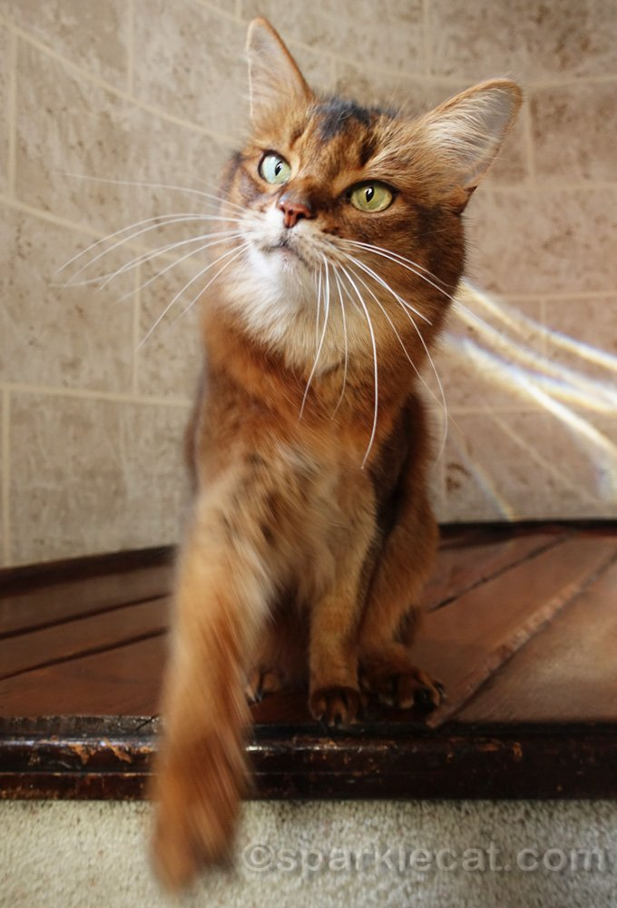 somali cat reaching for a treat