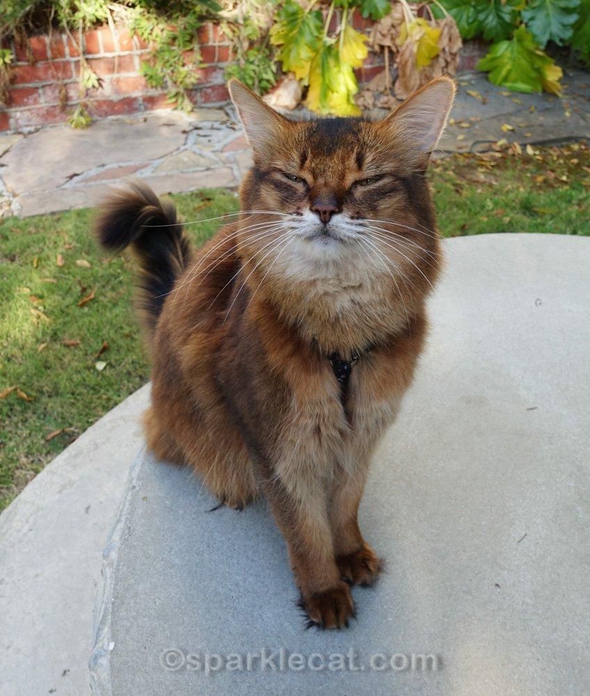 somali cat sitting on concrete table with eyes shut