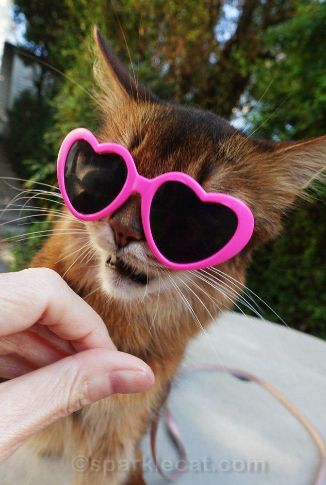 somali cat grabbing for treat while wearing sunglasses