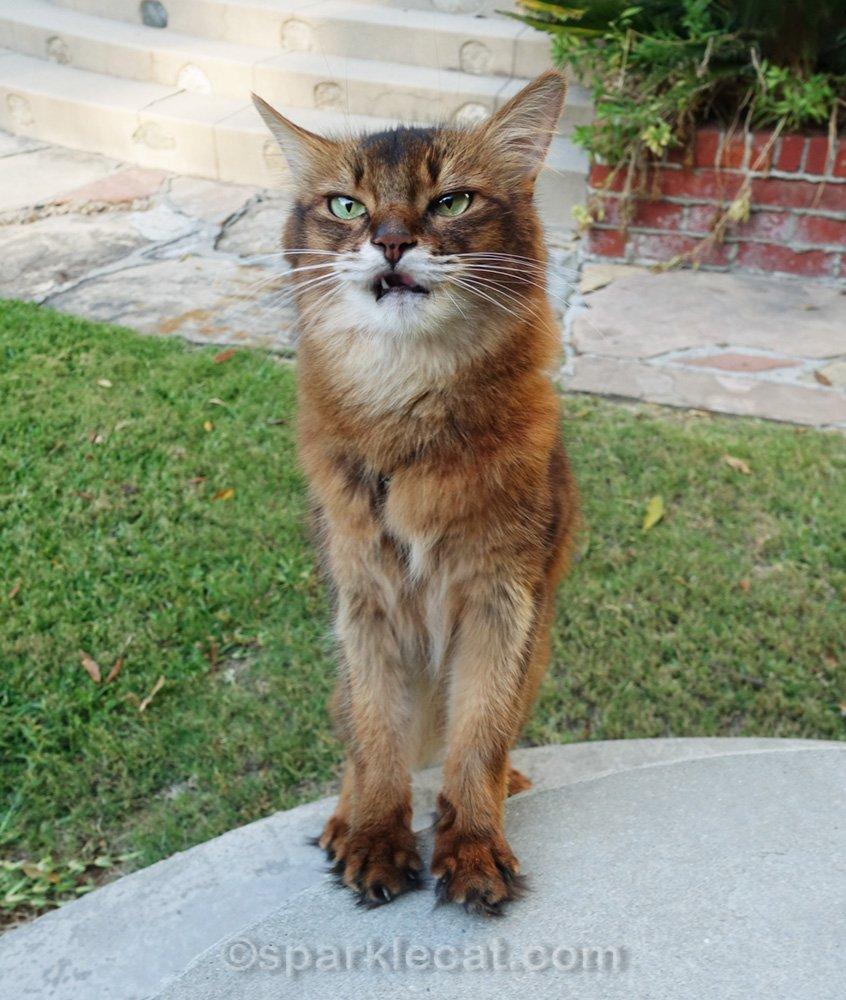 somali cat making weird grumpy face