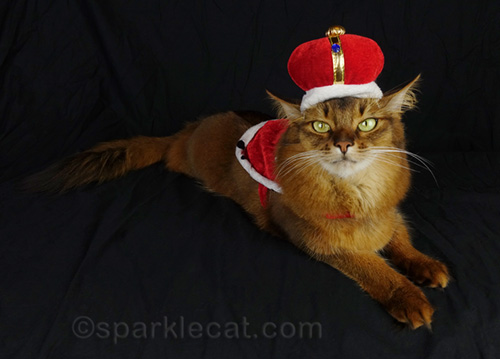 somali cat looking regal, like the royal me