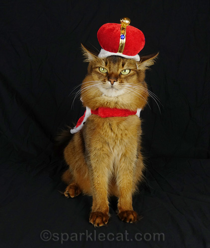 somali cat sitting up with a crooked crown