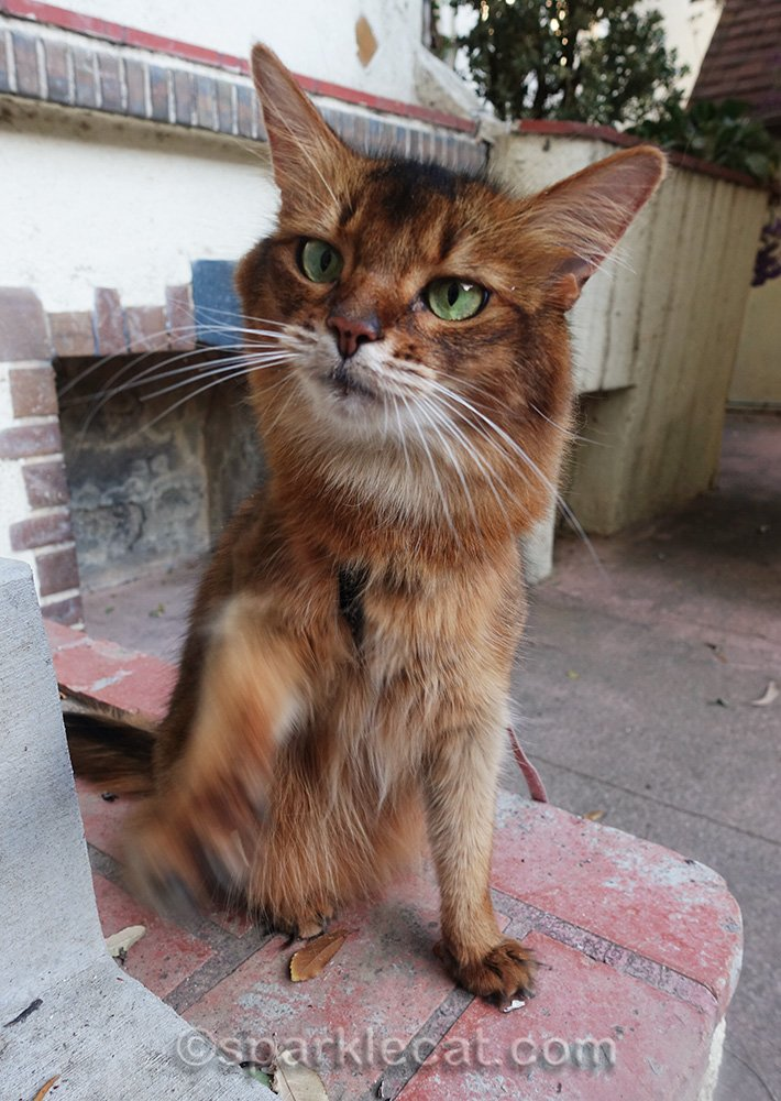 somali cat waving paw for a treat