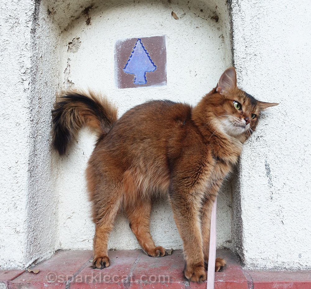 somali cat rubbing on alcove