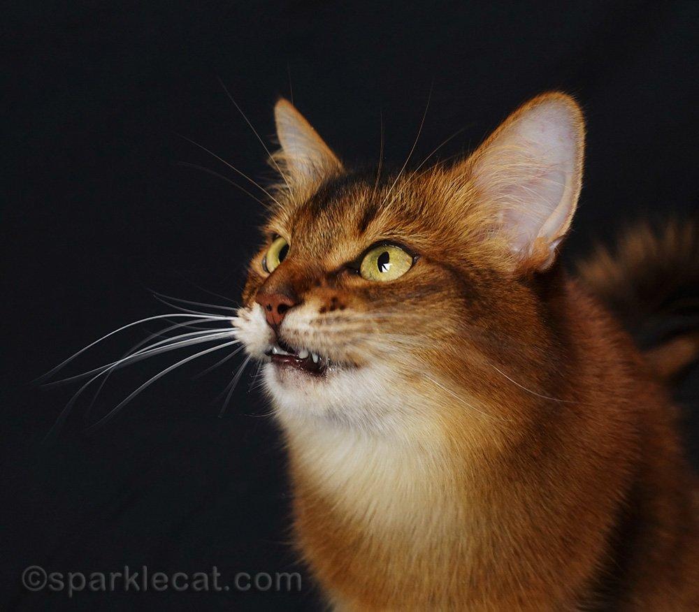 somali cat looking fierce