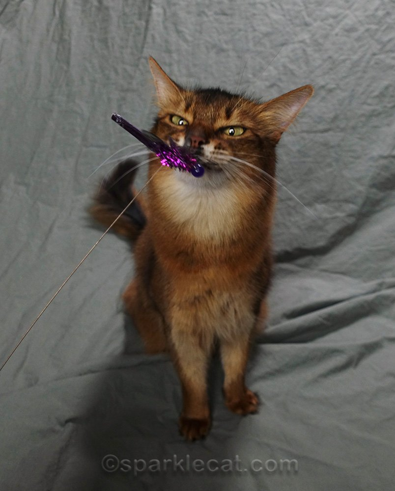 somali cat looking cross eyed at toy