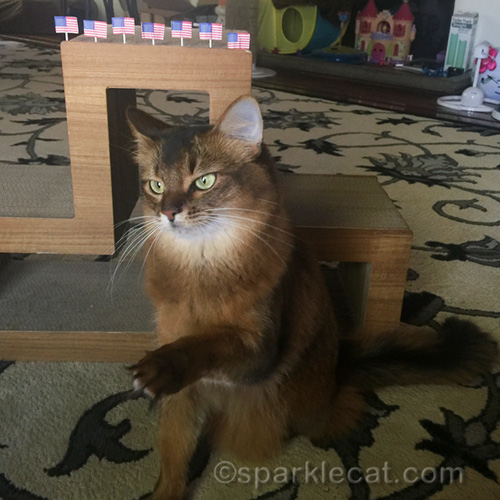 somali cat holding out paw