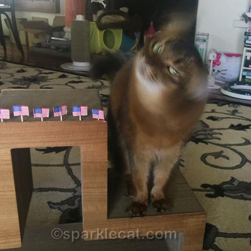 somali cat shaking her head