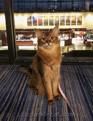 somali cat posing in front of hotel hallway window