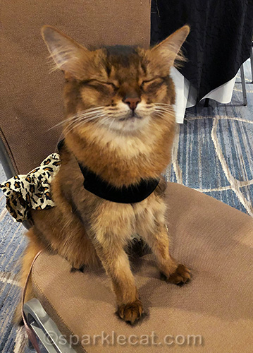 somali cat in evening dress at CWA conference with eyes shut