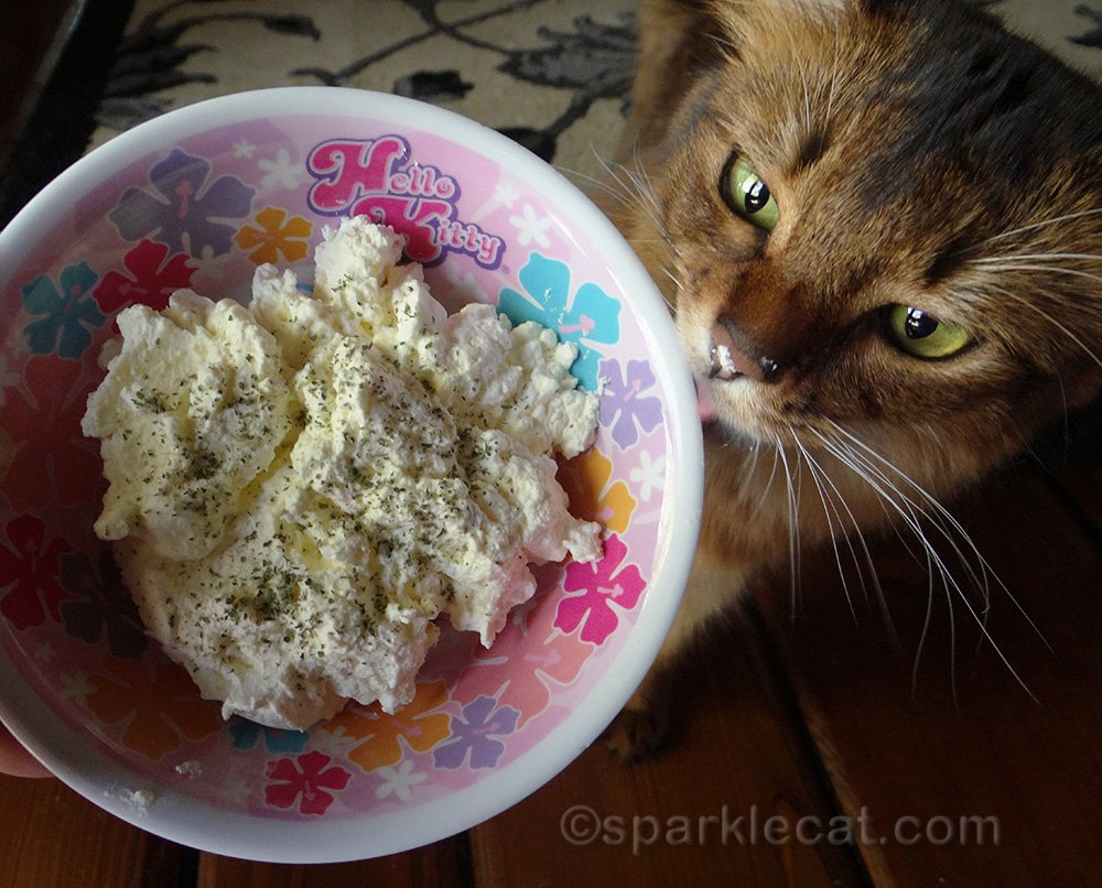 somali cat loving the catnip ice cream