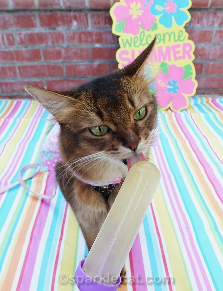 somali cat in dress licking chicken broth popsicle