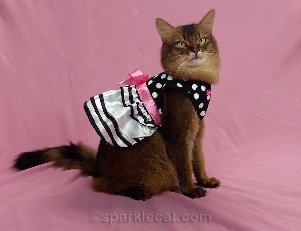 somali cat in pretty party dress
