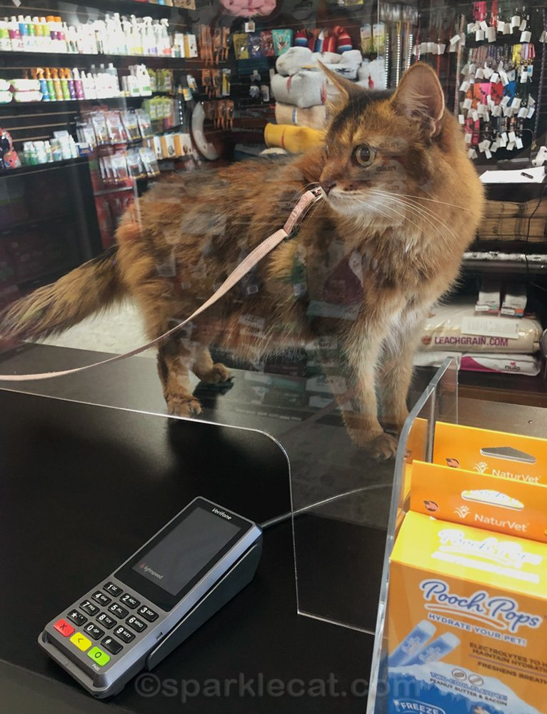 somali cat behind safety shield on pet shop counter