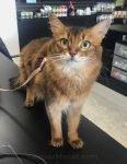 Happy Somali cat on a pet shop counter