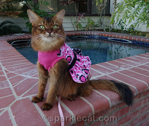 somali cat in pink dress with black sash and bow