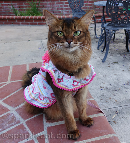 somali cat in southwestern style dress