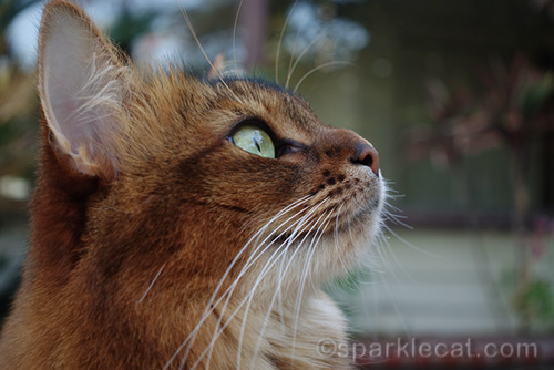 close up profile of somali cat