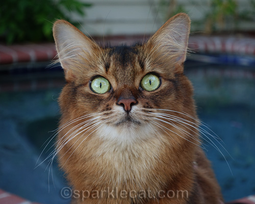 wide-eyed somali cat
