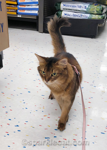 somali cat on a least during a trip to the pet store