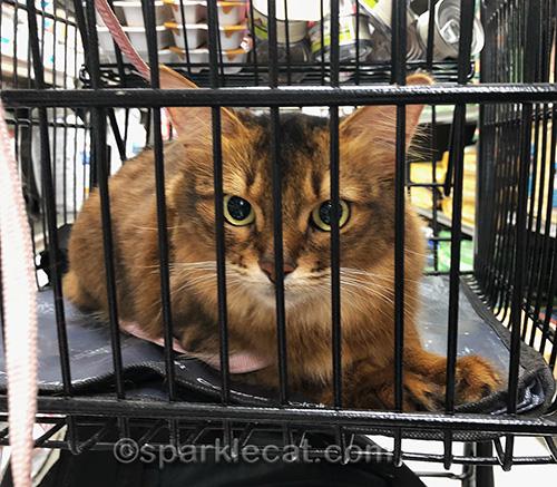 somali cat relaxing in shopping cart